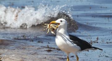 Самка альбатроса у 68 років знесла яйце