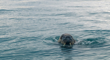 Морж приплив з Арктики в Ірландію на крижині