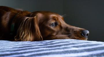Вчені з'ясували, що собаки ревнують