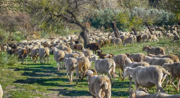 Пропали вівці